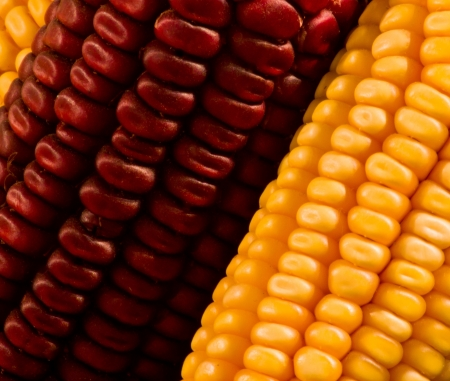 detail of yellow and purple corn cobs photo