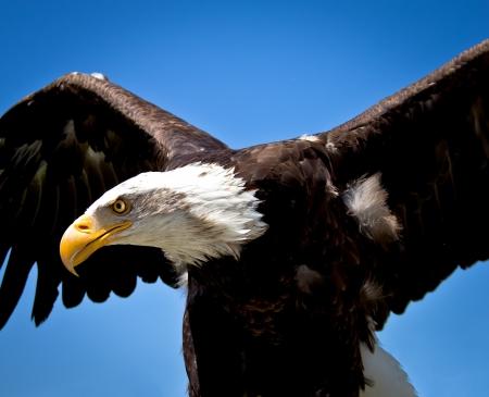 白頭鷲の肖像画 写真素材