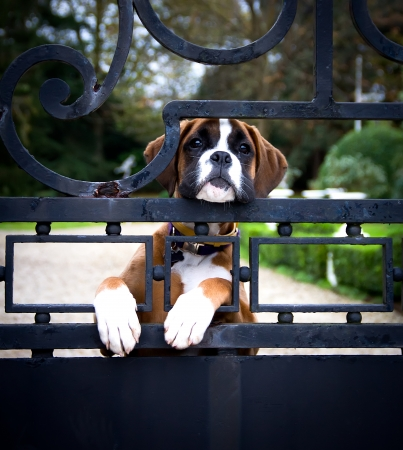 puerta de metal: cachorro boxer en una puerta de metal Foto de archivo