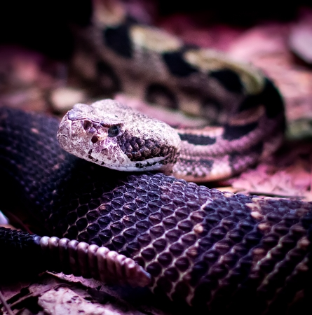 sound bite: portrait of a rattlesnake looking at camera