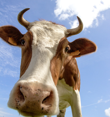 beef cattle: Portrait of a dairy cow Stock Photo