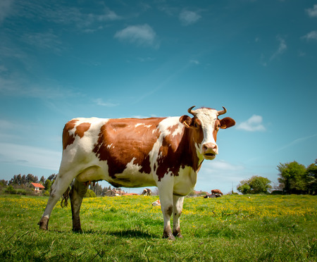 Portrait of a dairy cow Stock Photo