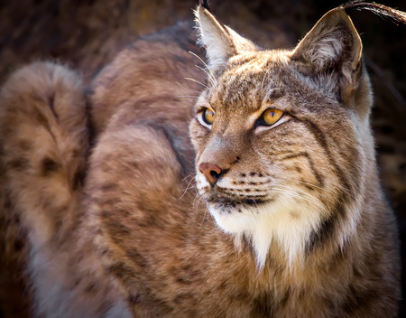 Portrait of a wild Iberian lynx Stock Photo