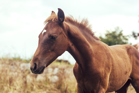 filly: Portrait of a brown foal horse in the meadow