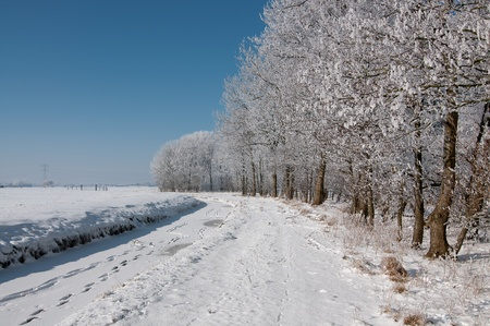 trees in dutch snow under clear blue sky