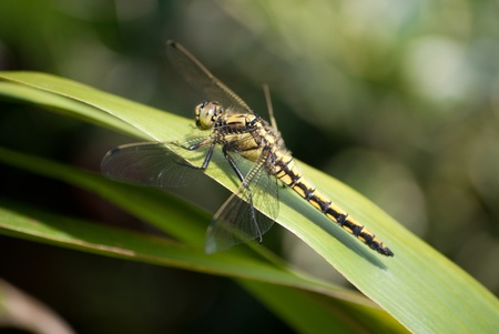 dragonfly on bamboo Stock Photo