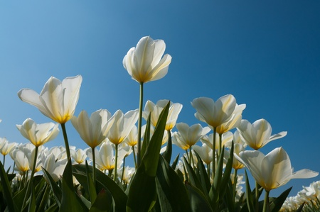 white tulips in blue sky photo