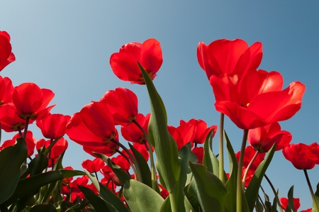 red tulips in blue sku