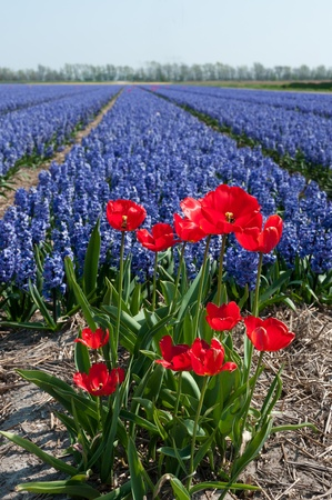 red tulips in front of blue hyacinth