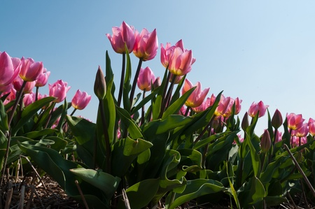 pink tulips in the blue sky Stock Photo
