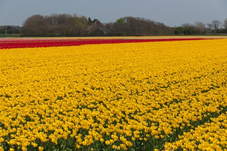 field of red and yellow tulips Stock Photo