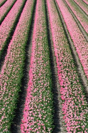 field ofbudding pink tulips Stock Photo