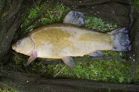tench in the net Stock Photo