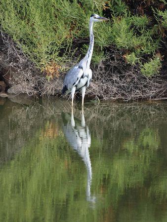 ardea: Grey Heron - Ardea Cinerea