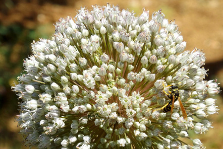 arachnids: Wasp collects nectar Stock Photo
