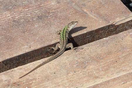 viviparous lizard: Lizard on wooden planks watching back