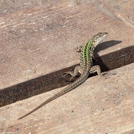 viviparous: Lizard on wooden planks watching back