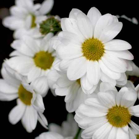 at white: White Daisies Stock Photo