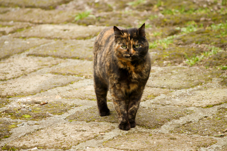 calico cat: Calico cat keep watching at you Stock Photo