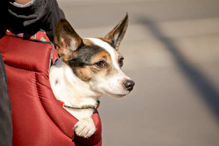 jack russel: Jack Russel Puppy carried in a bag