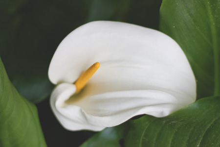 white lilly: White lilly in the garden Stock Photo