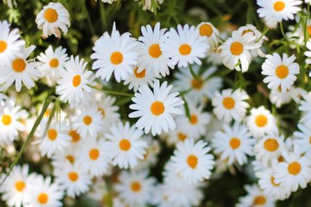 white daisies: White Daisies in the garden Stock Photo