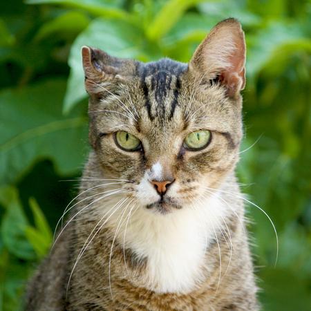 potrait: European cat potrait in the garden Stock Photo
