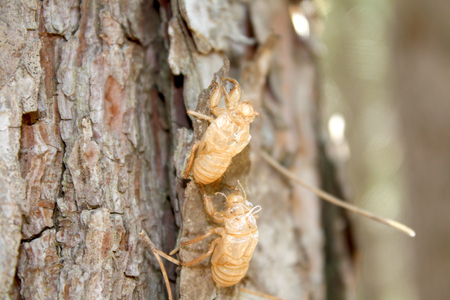 cicada bug: Balm-Crickets exuvia on a tree trunk Stock Photo