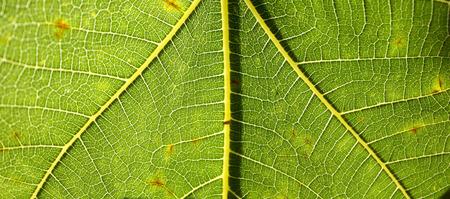 fig leaf: Fig leaf texture macro details Stock Photo