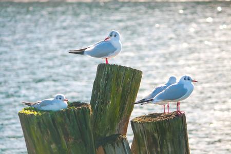 Seagull scene on the lakes pole
