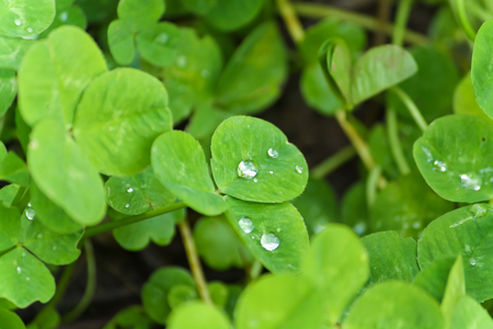 clovers: dew drops on clovers.