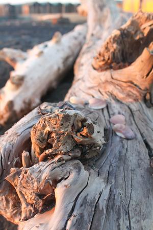 seashell on a wooden dead tree.