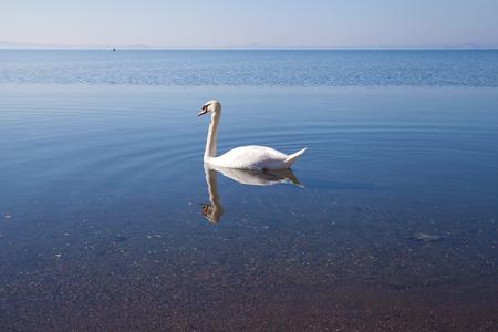 Swan swimming in Bolsena lake in the morning. Stock Photo