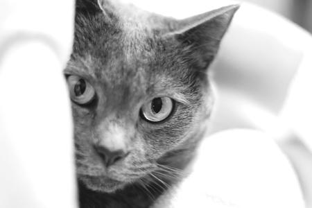 Portrait of a Chartreux Cat.