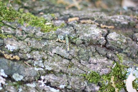 Larva Cabbage Worm (Pieris rapae).
