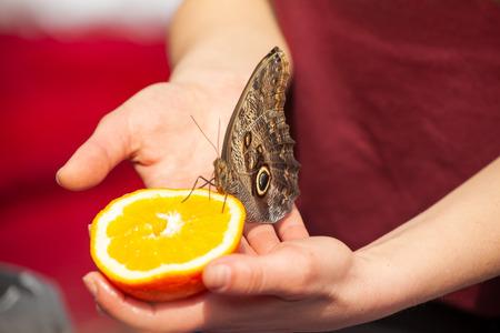 Feeding an Owl butterfly (caligo memnon) with a fresh orange.
