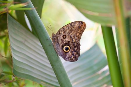 Owl butterfly (caligo memnon) side view Stock Photo