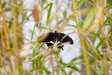 Common Mormon (Papilio polytes) on a bamboo plant.