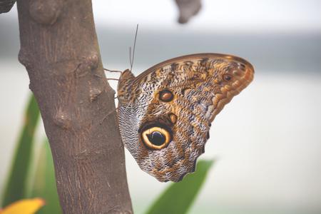 Owl butterfly (caligo memnon) on a tree branch