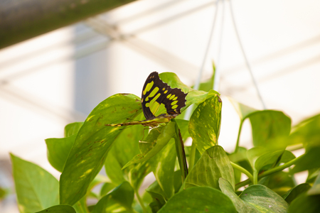 Philaethria Dido (scarce bamboo page, longwing dido, or green heliconia)