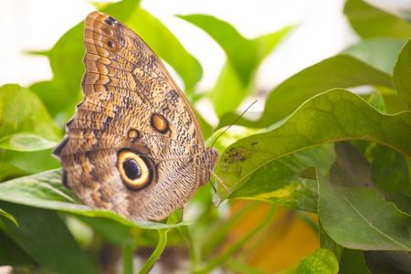 Owl butterfly (caligo memnon) on a leaf