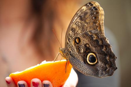 Owl butterfly (caligo memnon) eating orange from hands