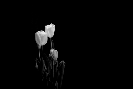Group Of Tulips Under A Dim Light On Black Background (framing ...