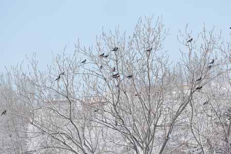 Crows flock on snowy branches after snowfall