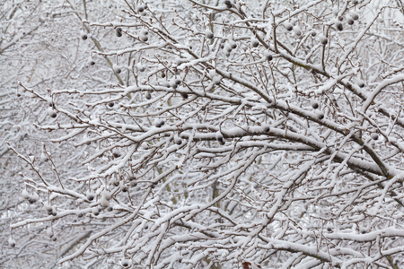 Branches Covered By Fresh Snow