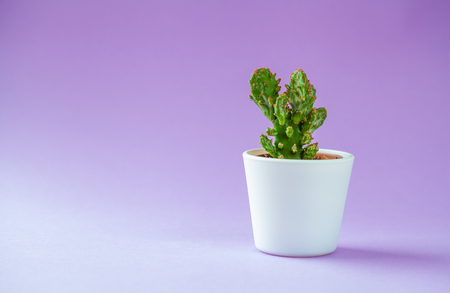 Succulent Plant in a little pot - isolated on violet.