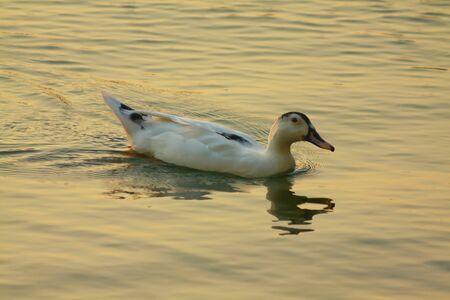 duck swimming silhouette dusk