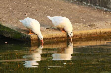 Duck drinking water pond