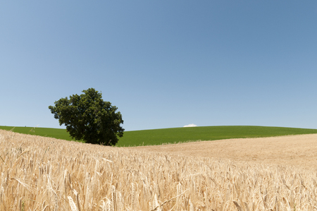 collina: Magnifico campo di grano sotto un celo blu cobalto Stock Photo