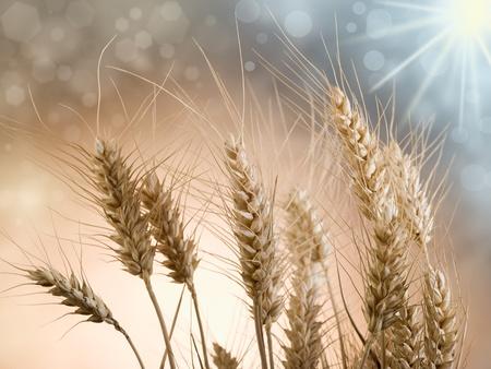 Wheat Harvest: ears on the sun